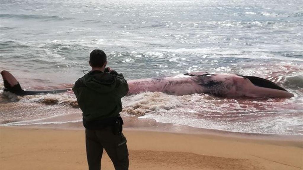 Una ballena muerta aparece en la playa de Barcelona