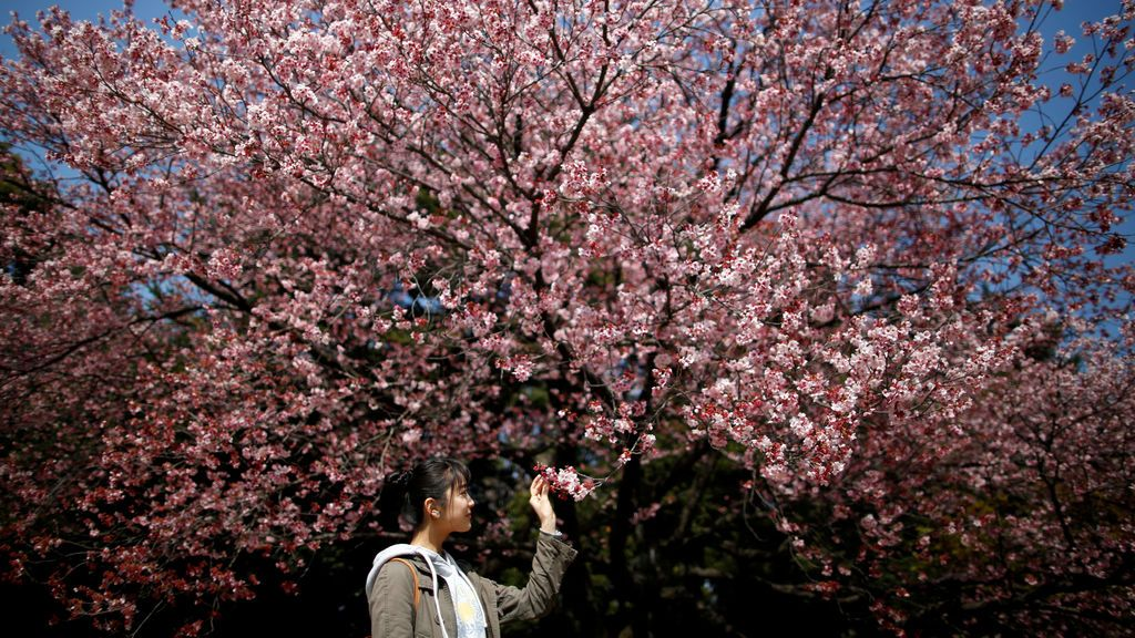Flores de cerezo de Kanzakura en un jardín de Tokio