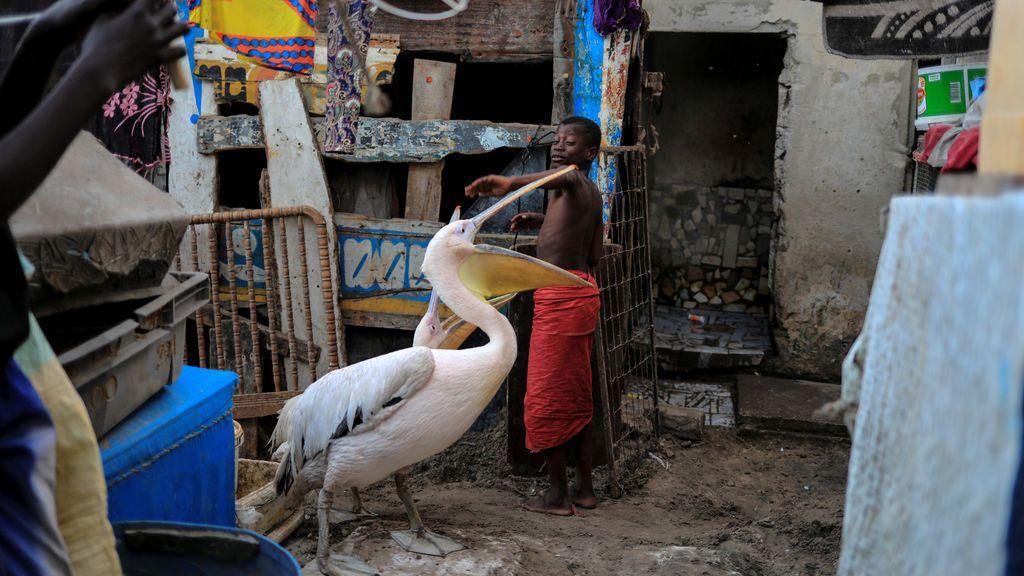 Un niño juega con pelícanos en Yoff, comuna de Dakar, Senegal