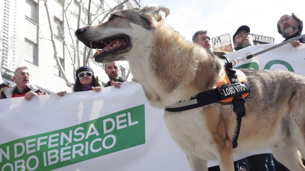 Cientos de personas se manifiestan en Madrid por la defensa del lobo ibérico