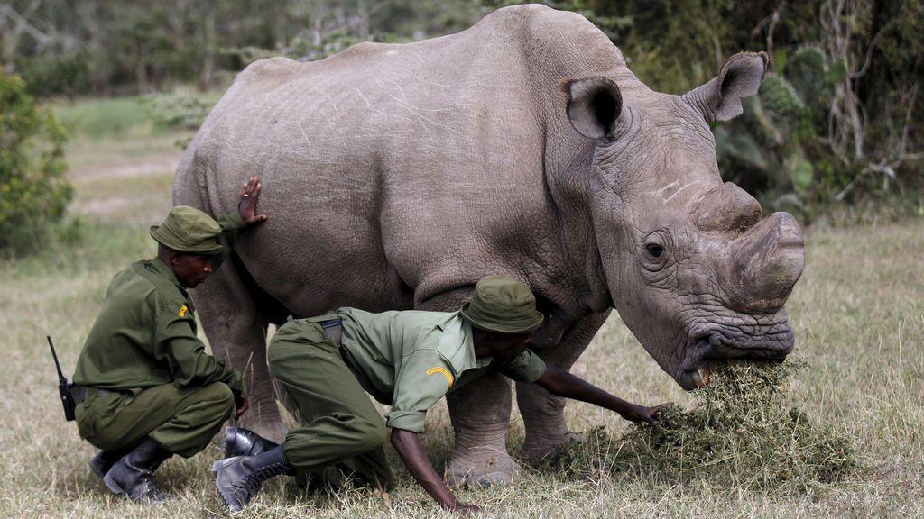 Muere 'Sudán', el último rinoceronte blanco del norte macho del mundo