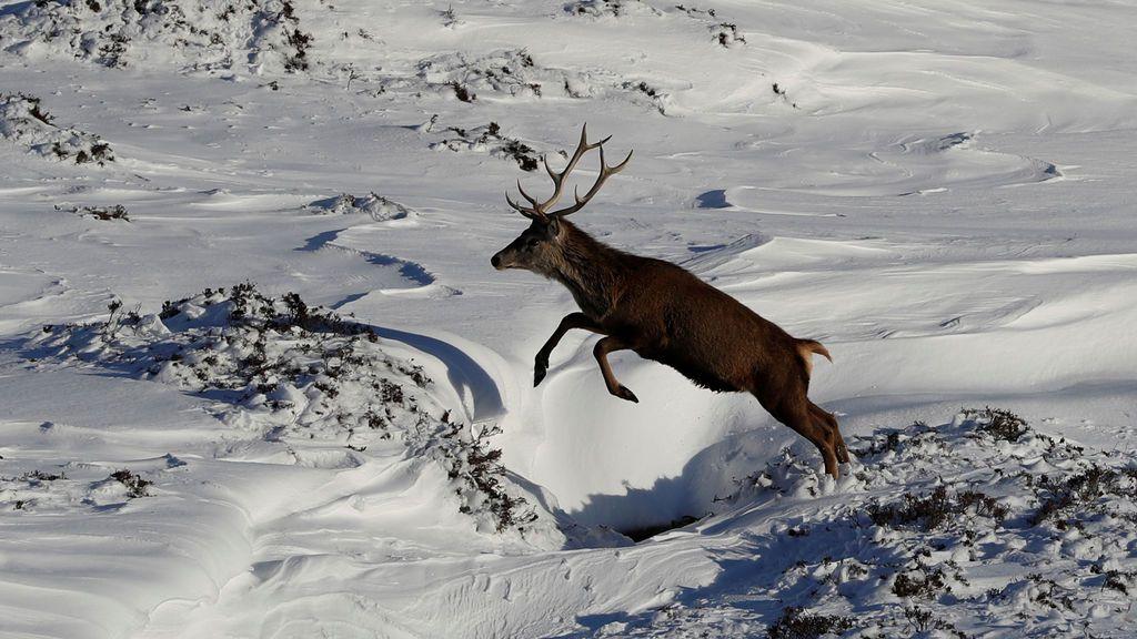 Preciosa imagen de un ciervo saltando en la nieve