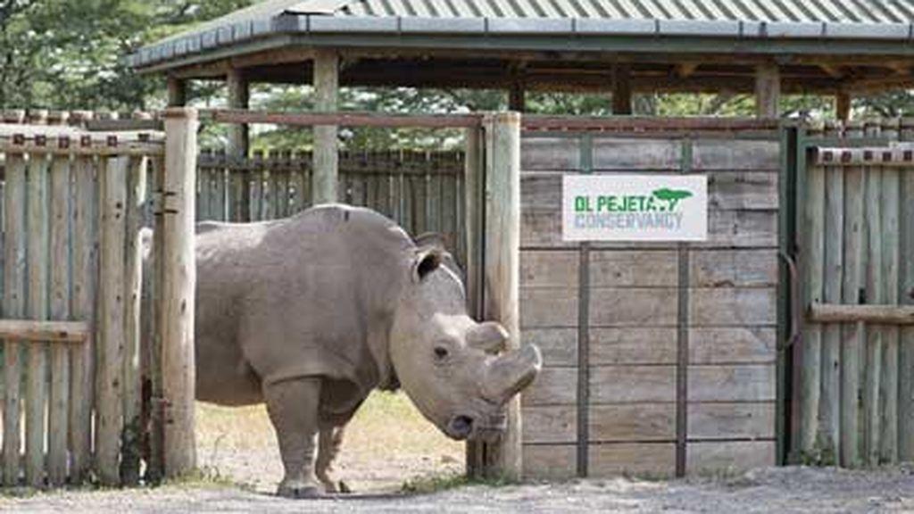 El planeta está de luto: el último macho de rinoceronte blanco del norte es sacrificado