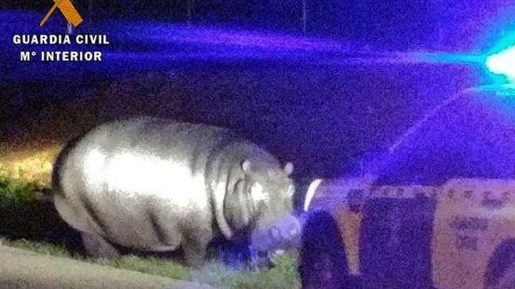 Un hipopótamo siembra el pánico en Badajoz