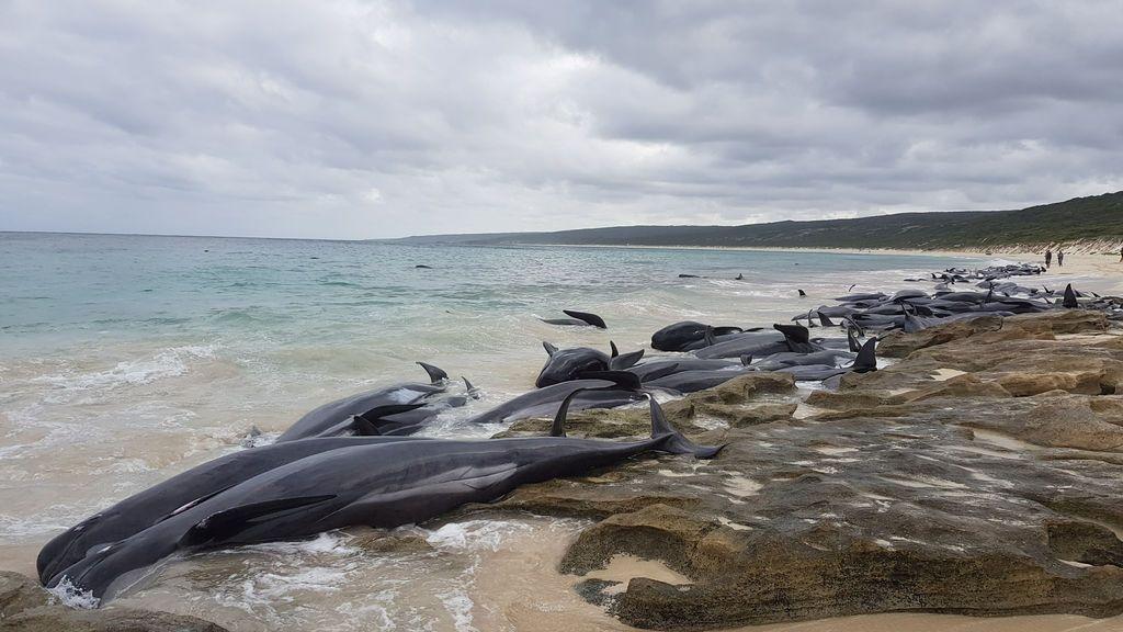 Mueren más de la mitad de las 150 ballenas varadas en una playa australiana