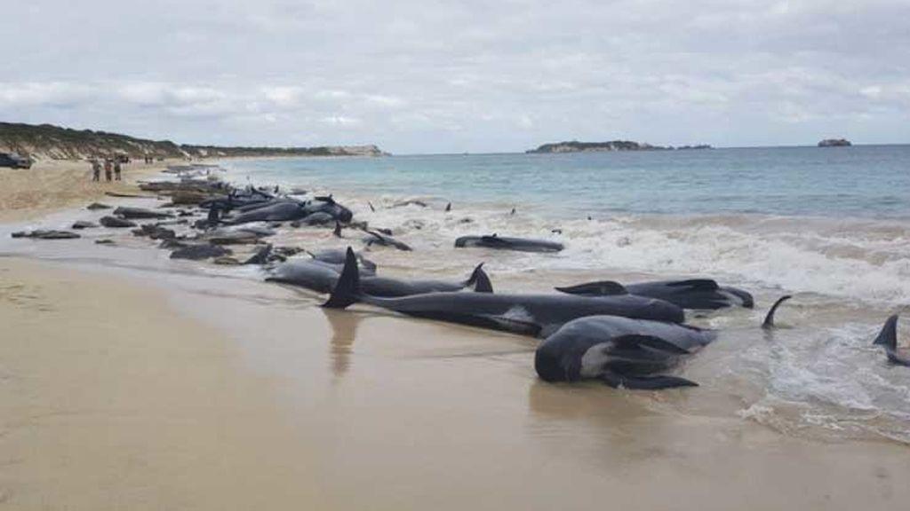 Algunas de las ballenas varadas en la bahía Hamelin, Australia