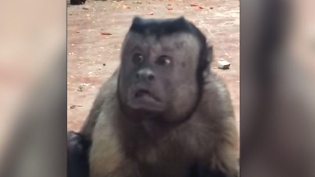 Un mono con expresión humana causa furor en las redes sociales