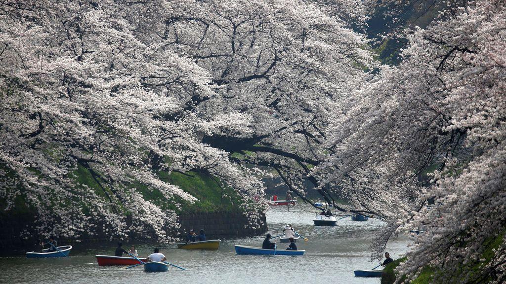 Los cerezos en flor llenan Japón
