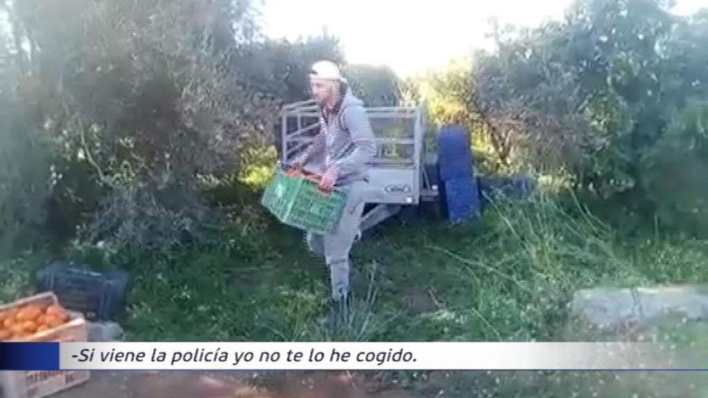 Le roban 4.000 kilos de naranjas a plena luz del día mientras graba a los ladrones