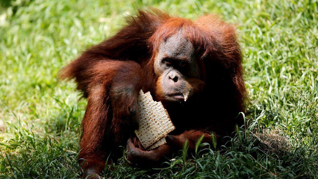 Un orangután celebra la Pascua judía en Israel