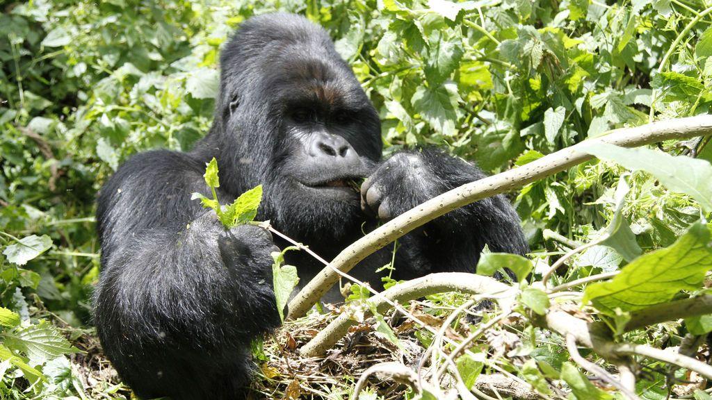 La increíble fotografía en la que una gorila consuela a su cuidador