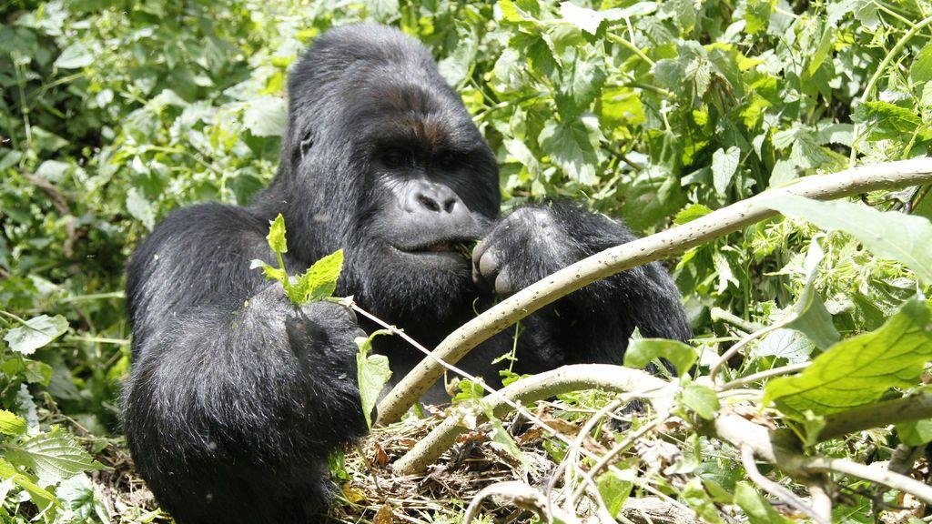 La increíble fotografía en que una gorila consuela a su cuidador