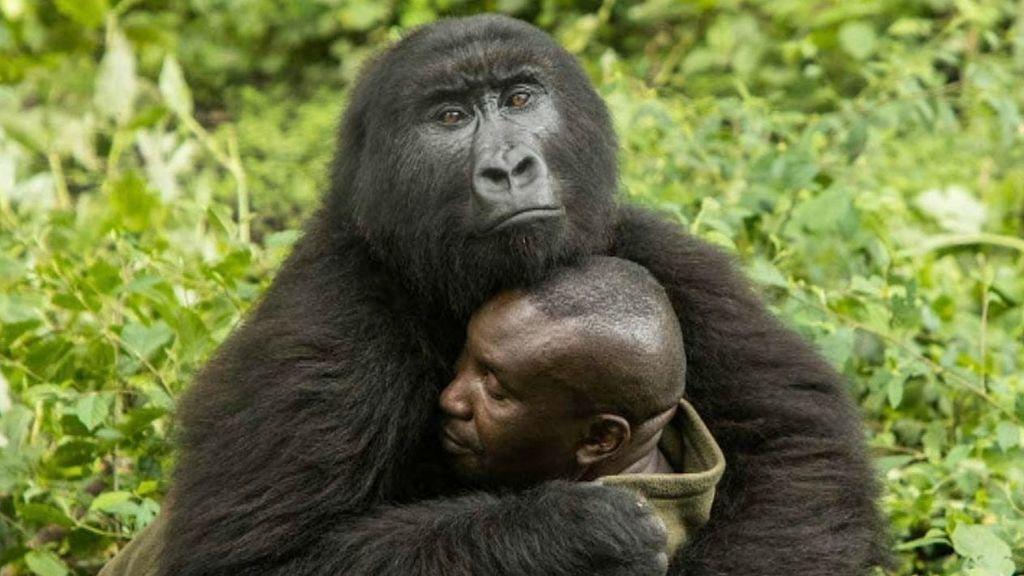 58e706733f08 El abrazo entre una gorila y su cuidador que enternece al mundo