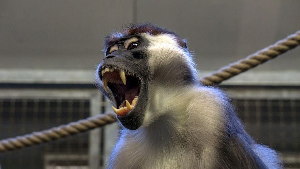 La Policía india busca a un mono que secuestró a un bebé que apareció muerto