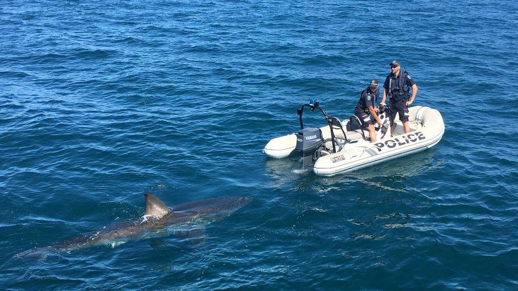 Un tiburón nada alrededor de una lancha de policía