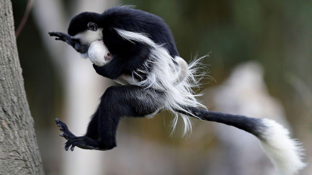 Un mono traslada a su cría en el zoo