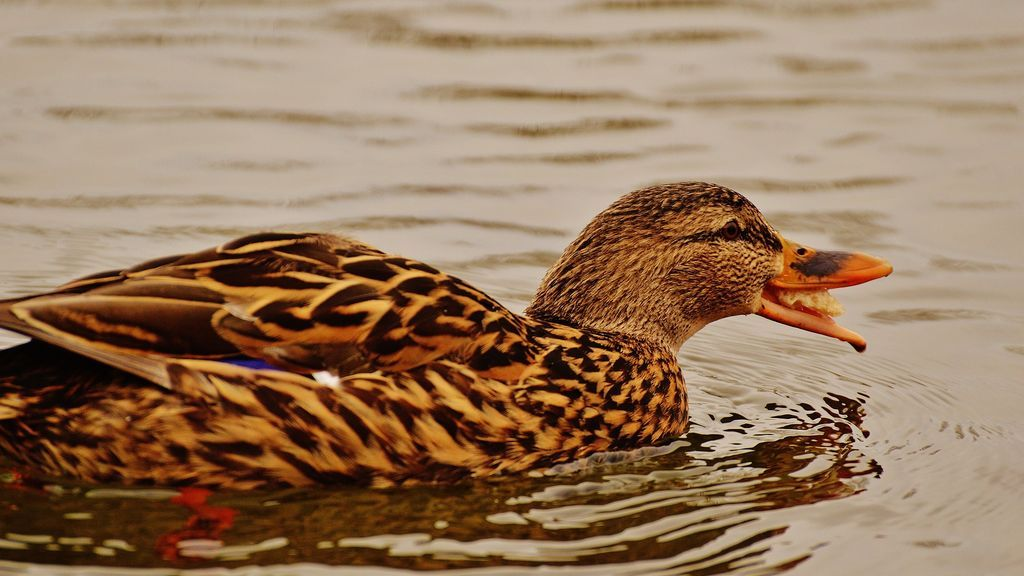duck-1227856_1920