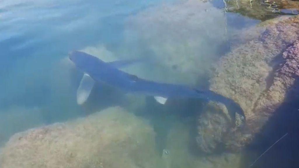 Captan la imagen de un tiburón de más de 2 metros en el puerto de Torrevieja
