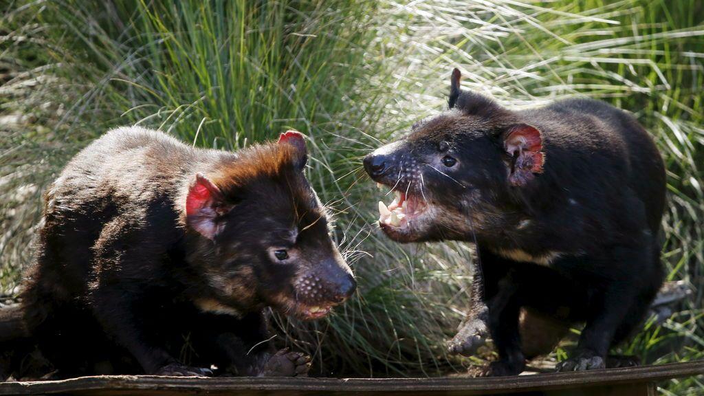 El diablo de Tasmania podría salvarse de la extinción gracias a los medicamentos para humanos
