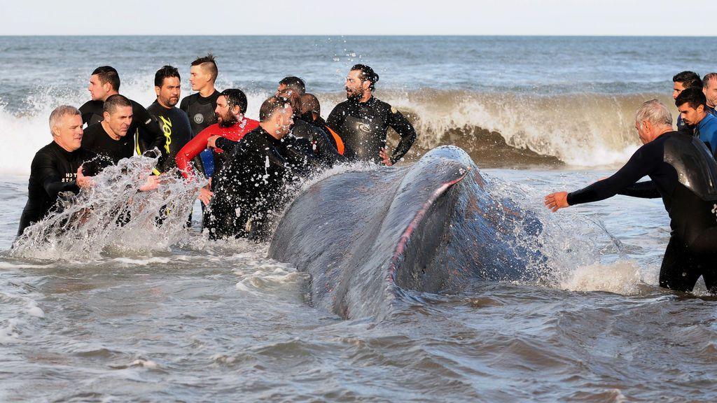 Rescate de una ballena jorobada
