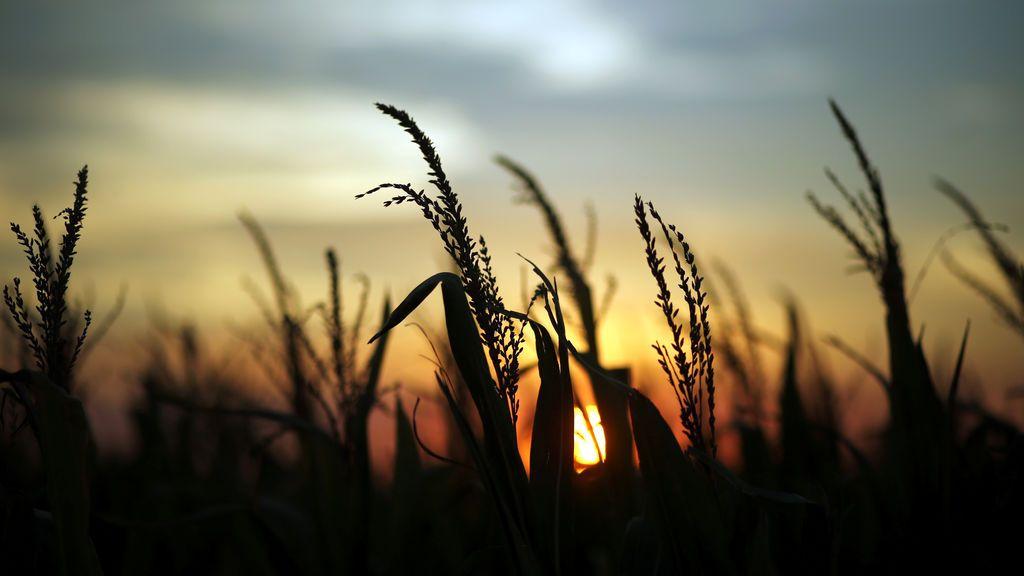 Atardecer entre plantas de maíz