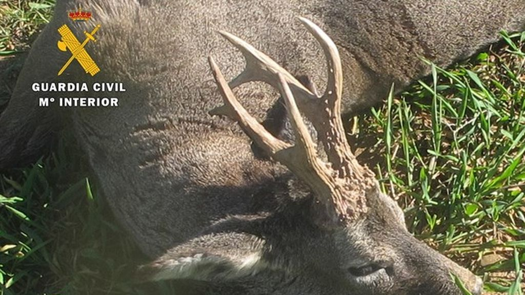 Investigan a un cazador por abatir a un corzo sin tener autorización