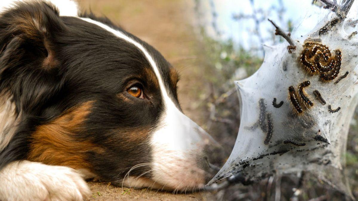 ¡Cuidado con las mascotas! El buen tiempo trae de vuelta las orugas que pueden ser mortales