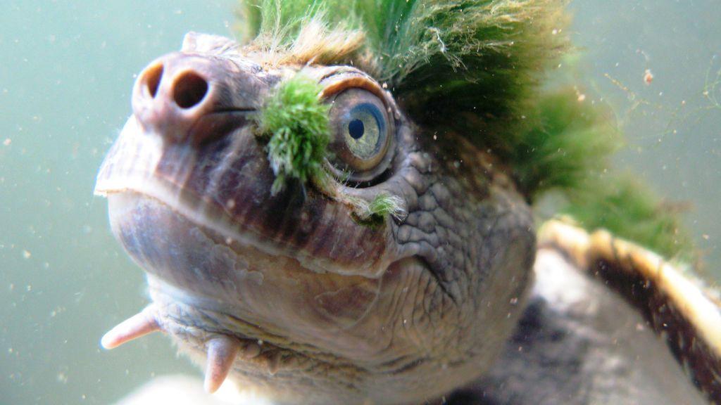 La 'tortuga punk', una de las especies exóticas más amenazadas