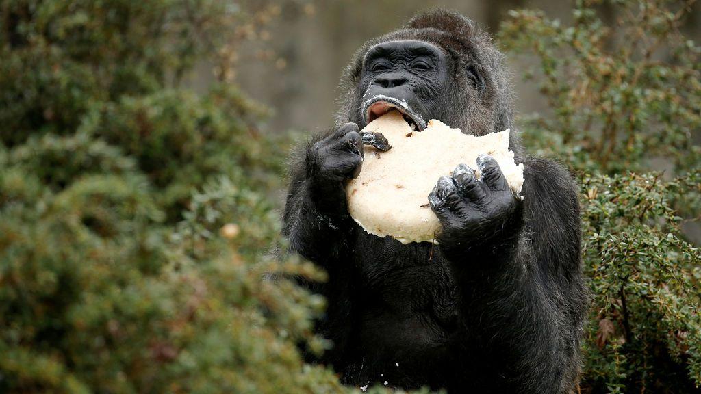 Un gorila celebra su cumpleaños