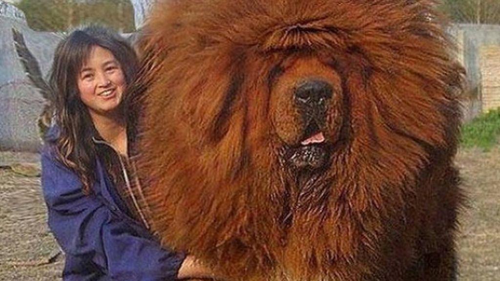 Increíble, pero cierto: Mastín Tibetano, el 'perrazo' más grande del mundo 🐶