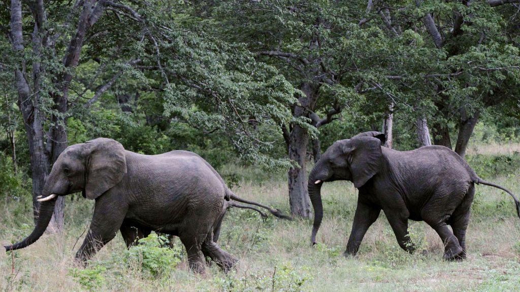 Muere un hombre tras ser pisoteado por un elefante salvaje en el suroeste de China