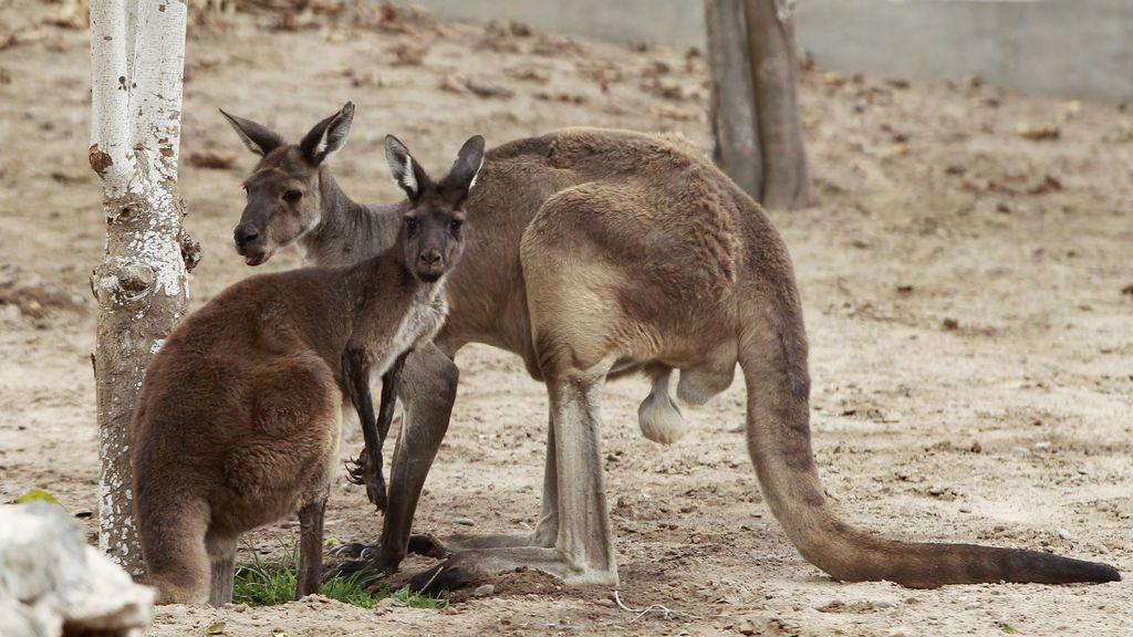 Muere un canguro después de que los visitantes del zoo le arrojan ladrillos para que saltara