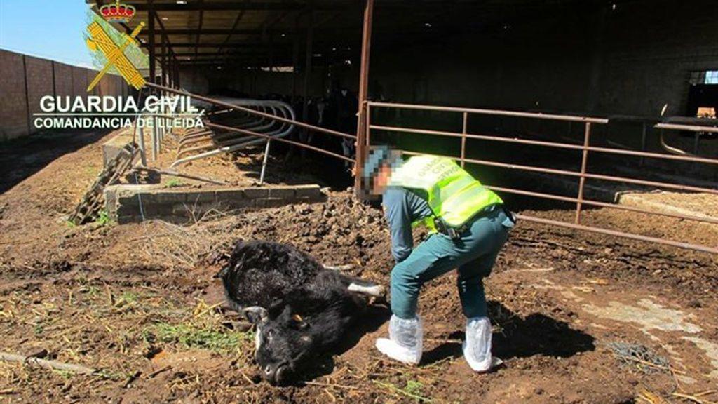 Denuncian al dueño de una granja de Torregrossa por maltratar a sus vacas