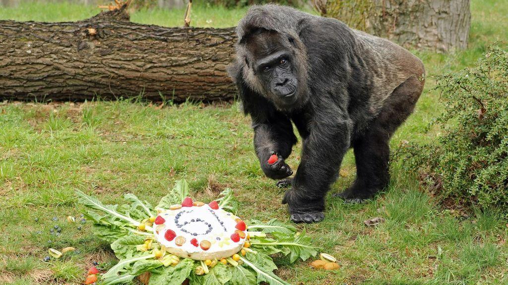 La gorila más mayor del mundo celebra su cumpleaños con un capricho dulce