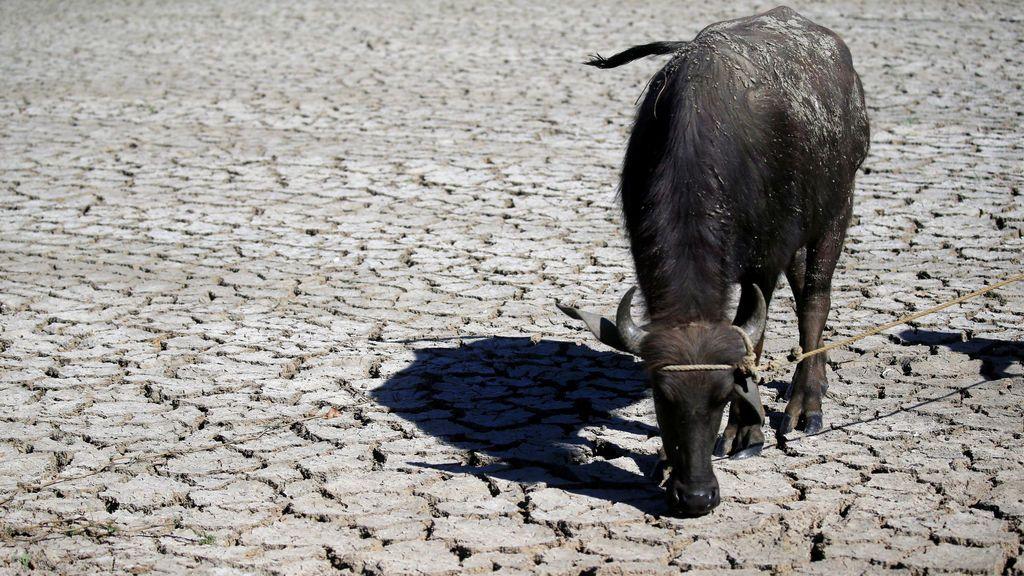 Un búfalo en medio de un campo seco
