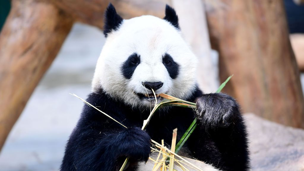 Bebé panda come bambú en un zoo de China