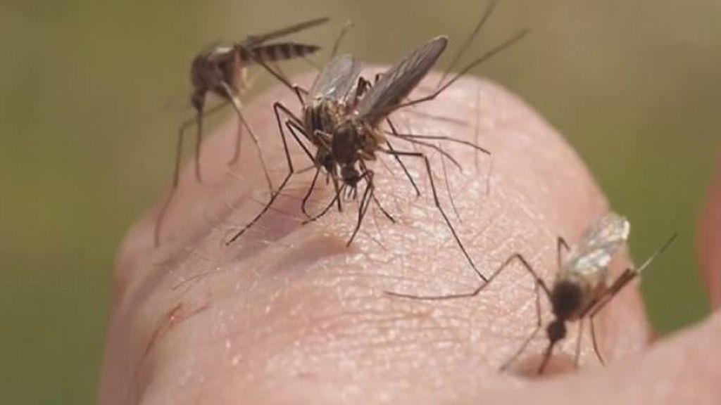 Llega el calor: investigamos si es verdad que los mosquitos detectan la gente con sangre dulce