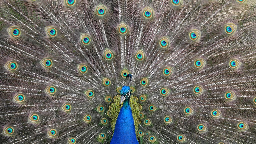 Plumaje de un pavo real para buscar pareja