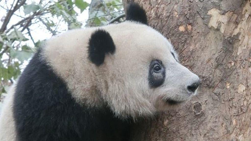 ¿Por qué pierden el color de sus manchas los osos panda?