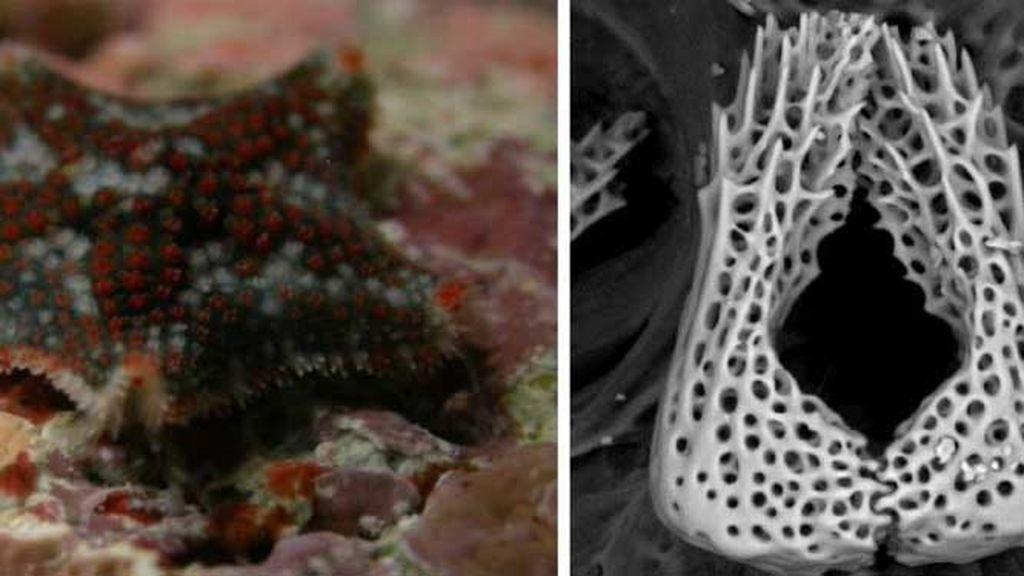 Descubiertas-dos-nuevas-especies-de-estrellas-de-mar_image_380