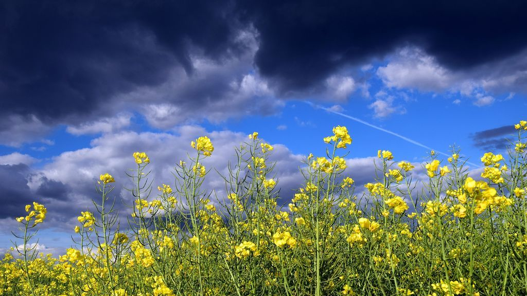 oilseed-rape-2336317_1920