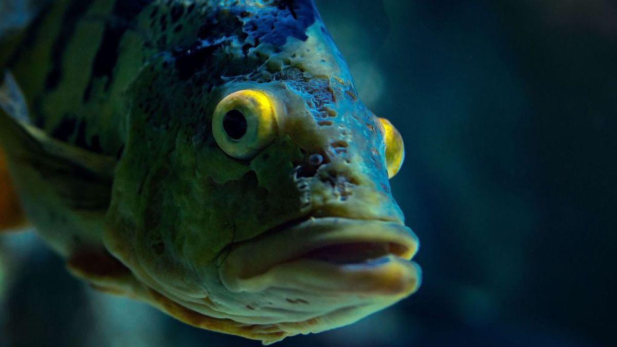 Encuentran un misterioso pez con dientes de humano