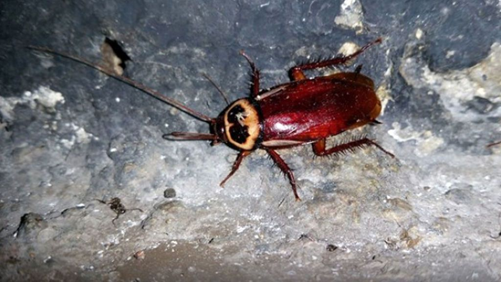 La cucaracha australiana llega a Madrid