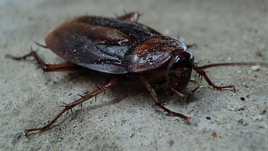 Las cucarachas australianas llegan a la capital: 5 cosas que debes saber sobre ellas