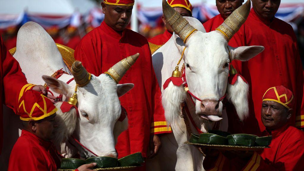 Ceremonia anual de la labranza en Tailandia