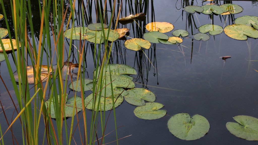 water-lilies-2775789_1920