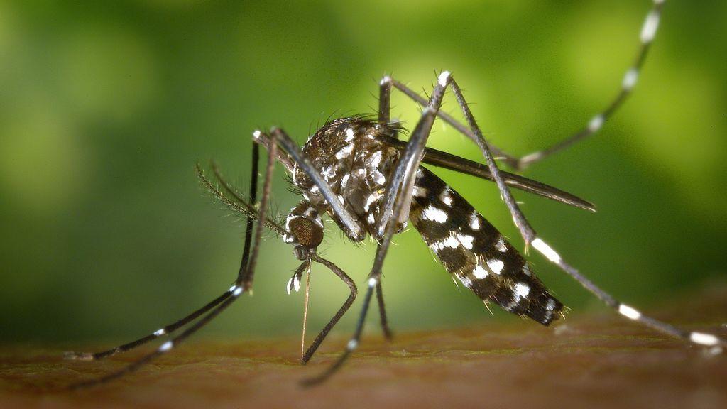 Las lluvias tienen la culpa: este verano se prevé una explosión de mosquitos tigre en España