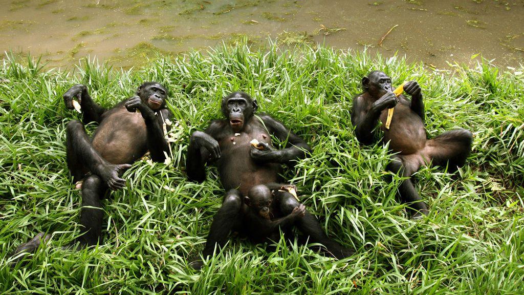 Un nido de chimpancé es más limpio que tu cama