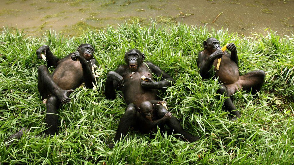 Por qué tu cama es menos limpia que un nido de chimpancé