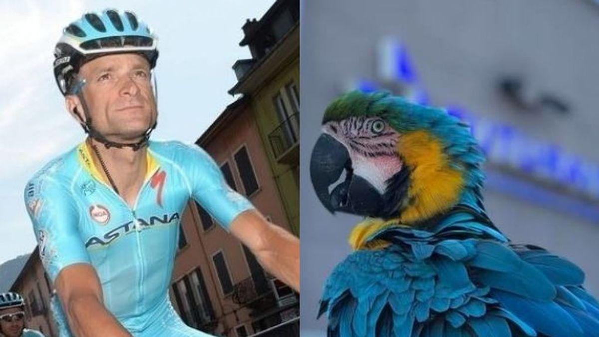 Frankie, la fiel papagayo hembra que entrenaba con Scarponi, ha sido atropellada